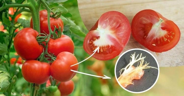 помідори з білими прожилками в середині